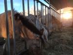 Viele Stunden Heu am Tag brauchen die Pferde als Dauerfresser